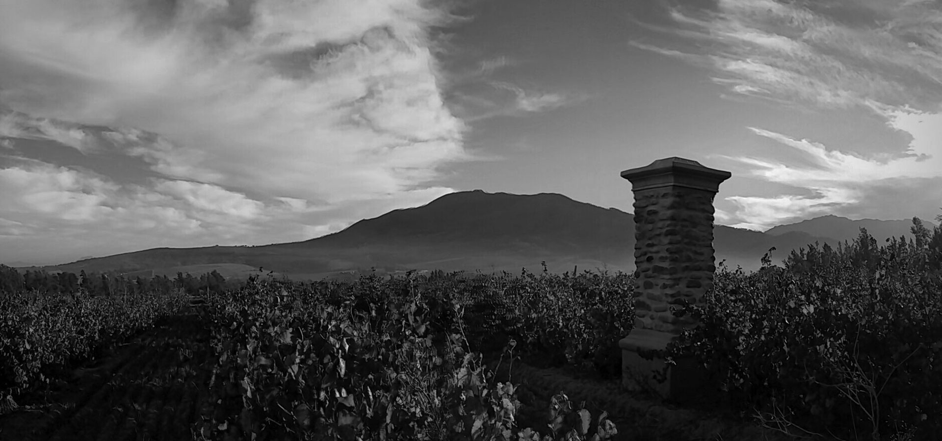 Vineyard in black and white